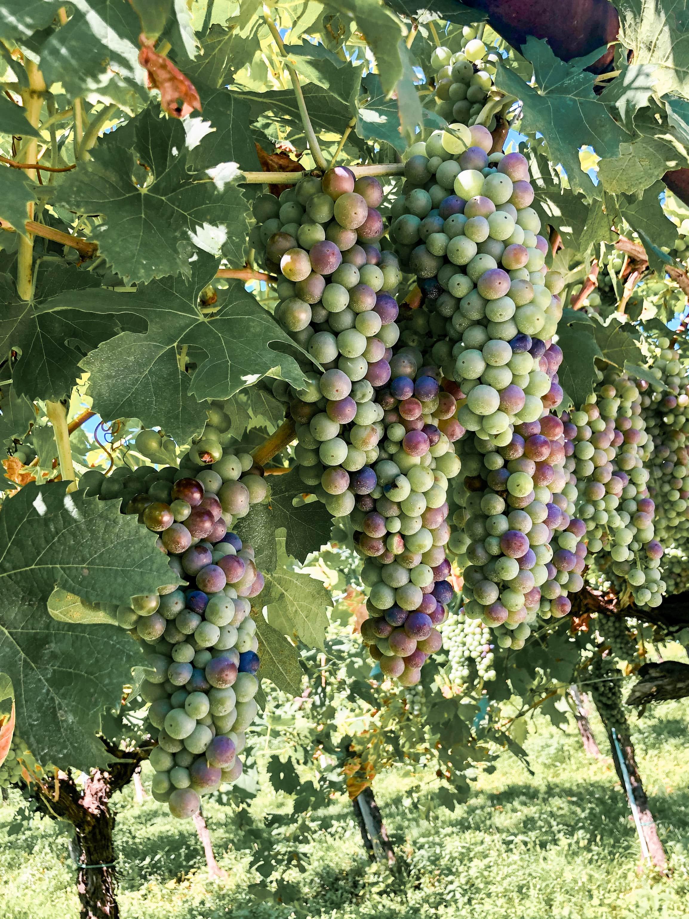 tenute ugolini verona uva in vigneto